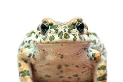 Toad macro portrait Stock Photo