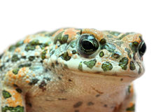 Toad macro portrait Royalty Free Stock Photography