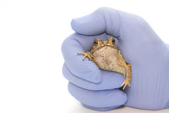 Toad on a man's hand  Isolated Stock Photos