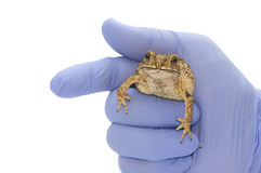 Toad a man's hand  Isolated Royalty Free Stock Photo