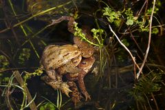Toad mating in the fish pond. Toad mating in the big fishpond Royalty Free Stock Photography