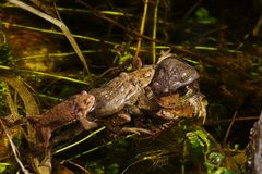 Toad mating in the fish pond. Toad mating in the big fishpond Stock Photo
