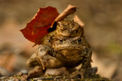 Toad, mating. Toad mating, male on the back of a female Stock Images