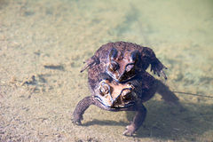 The Toad Mating Royalty Free Stock Images