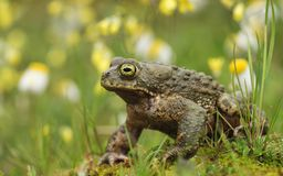Toad in the meadow Stock Image