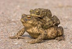 Toad migration Royalty Free Stock Images