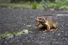 Toad migration Stock Photography