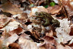 Toad migration in forest Stock Photos