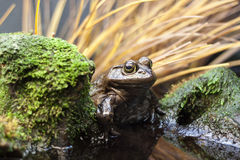 Toad beside mossy rock Stock Images