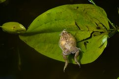 Toad. Mother lying on the leaves between lakes Royalty Free Stock Images