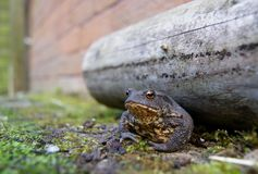 Toad. Next to wood Stock Photography
