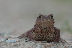 Toad in the night. Royalty Free Stock Image