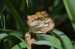 Toad the night hunting Royalty Free Stock Photography