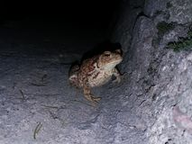 A toad at night sitting at urban environment on concrete stair. Photo Stock Photography