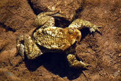 Toad On The Bottom Of The River Royalty Free Stock Images