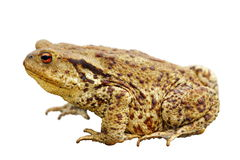 Toad over white Royalty Free Stock Photography