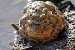 A toad-pair Stock Images