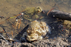 A toad-pair Royalty Free Stock Photo