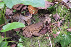 Toad. Picture of toad while out in the woods Stock Images