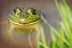 Toad in Pond. Large green toad in a pond Stock Photography