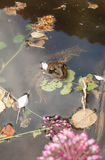 Toad in the pond with algae Royalty Free Stock Photo
