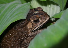Toad in pond Royalty Free Stock Images