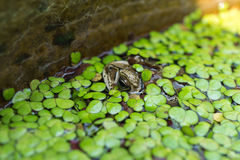 Toad in a pond Royalty Free Stock Photography