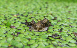Toad in a pond. Front view, covered by duckweed Royalty Free Stock Images