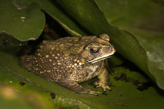Toad in pond Royalty Free Stock Photo