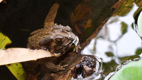 Toad in the pond Stock Images