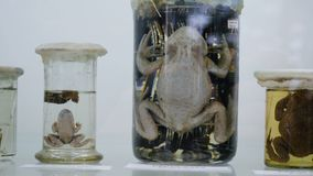 Toad preserved in formaldehyde in glass jar with back lighting. Preserved specimens of frogs.  Royalty Free Stock Photography
