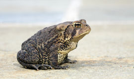 Toad profile. Profile of a toad sitting for the camera Royalty Free Stock Photo