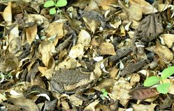 Toad puffed big for threaten enemy on ground in forest. Toad puffed big for threaten enemy on ground in the forest royalty free stock photos