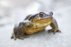 Toad ready to jump in a rock Royalty Free Stock Image