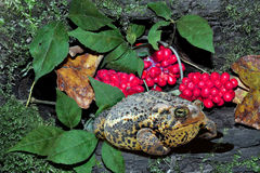 Toad With Red Berries. A toad in the woods sitting by a rotten log and some red berries royalty free stock image