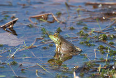 Toad with a Reflection in the Water Royalty Free Stock Images