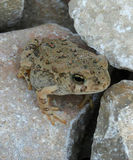 A Toad Rests on Rocks Stock Photo