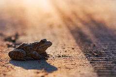 Toad on the road Royalty Free Stock Photography