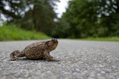 Toad on the road Royalty Free Stock Photos