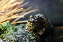 Toad on a rock Royalty Free Stock Photos