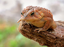Toad on rock. Toad on pride rock ready to jump Royalty Free Stock Photo