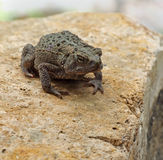 Toad on a Rock Stock Photos