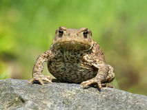 Toad at a rock Royalty Free Stock Images