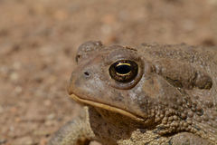 Toad's Eye Royalty Free Stock Image