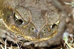 Toad's Eyes Stock Photo