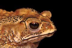 Toad's head on black. Close up of a Common Asiatic Toad's (Duttaphrynus melanostictus) head on black background stock photo