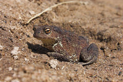 Toad on sand Stock Image