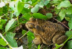 Toad Scientific name: Bufonidae royalty free stock image