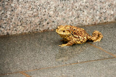 Toad on the sidewalk Stock Photos