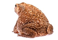 Toad sit on  white background Royalty Free Stock Image